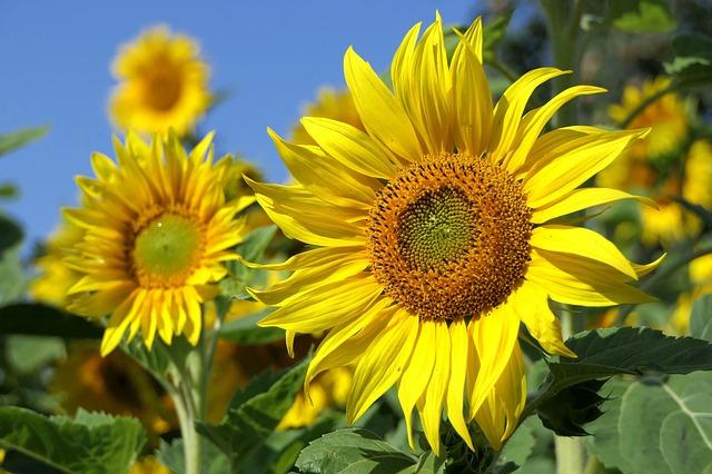 Objawy alergii na słonecznik