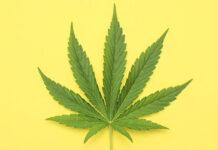 Kilka porad przed zakupem kolekcjonerskich nasionek marihuany